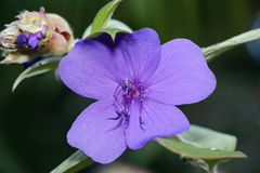 Princess Flower Stock Photography