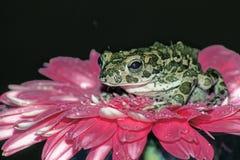 Princess Frog Stock Image