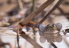 The princess frog. The frog and its lake Royalty Free Stock Images