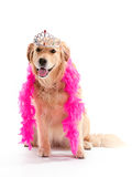 Princess Golden Retriever Royalty Free Stock Image