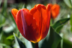 Princess Irene tulip. Glowing in the sunlight Stock Images