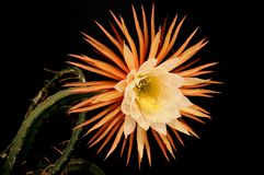 Princess of night (Selenicereus pteranthus) Stock Image