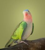 Princess parakeet. A portrait of a princess parakeet Royalty Free Stock Image