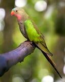 Princess parakeet. A portrait of a princess parakeet Royalty Free Stock Photos