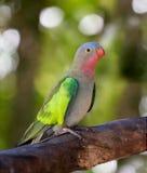 Princess parakeet. A portrait of a princess parakeet Royalty Free Stock Photo