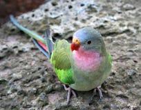Princess Parrot. Native to Australia.  Scientific Name: Polytelis Alexandrae Stock Photo