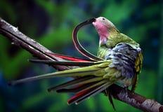 Princess Parrot Royalty Free Stock Image