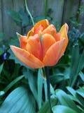 Princess parrot tulip in garden. Close up of orange princess parrot tulip in sunny garden Stock Photos