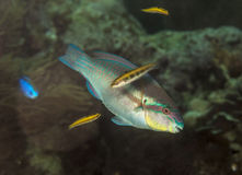 Princess parrotfish Royalty Free Stock Images