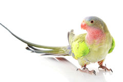 Princess of Wales Parakeet Stock Photo