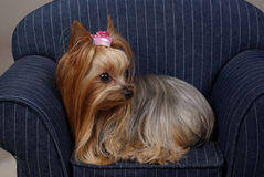 Princess Yorkshire Terrier. Yorkshire-Terrier dog lay on a small couch with a pink princess crown barrette Stock Photo