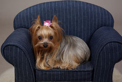 Princess Yorkshire Terrier. Yorkshire-Terrier dog lay on a small couch with a pink princess crown barrette Royalty Free Stock Image