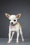 Princesse Chihuahua images stock