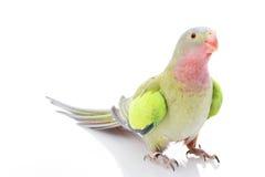 princesse Pays de Galles de parakeet Photo libre de droits