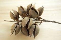 Princesstree, naparstnica, imperatorowej drzewo, kiri, paulownia tomentosa owoc, jajkowate kapsuły z ziarnami zdjęcie royalty free