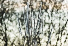 Principal. Leaves of grass of the pampa on Sky Stock Photo