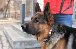 Principal et épaule d'un berger allemand de chien Photo stock
