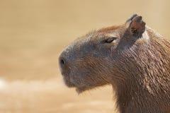 Principal et épaules de Capybara Images libres de droits