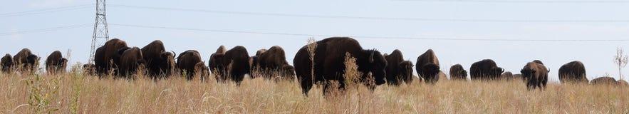 Principal troupeau de bison Images libres de droits