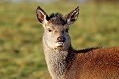 Principal y hombros de los ciervos de huevas que miran la cámara Foto de archivo libre de regalías