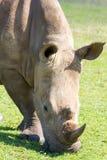 Principal y hombros de un rinoceronte que pasta en Tala Private Game Reserve en Suráfrica Imagen de archivo
