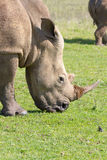 Principal y hombros de un rinoceronte que pasta en Tala Private Game Reserve en Suráfrica Fotos de archivo libres de regalías