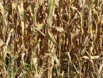 Principalmente campo di grano asciutto Immagini Stock Libere da Diritti