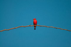 Principe do Pantanal bird perched on a branch full of thorns. Blue sky background Stock Photos