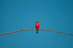 Principe do Pantanal bird perched on a branch full of thorns. Blue sky background Stock Photo