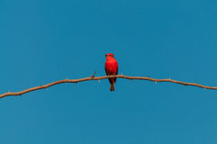 Principe do Pantanal bird perched on a branch full of thorns. Blue sky background Royalty Free Stock Photography