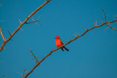Principe do Pantanal bird perched on a branch full of thorns. Blue sky background Royalty Free Stock Photos