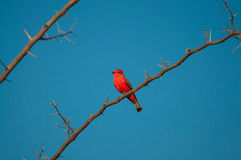 Principe do Pantanal bird perched on a branch full of thorns. Blue sky background Stock Photography
