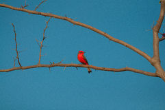 Principe do Pantanal bird perched on a branch full of thorns. Blue sky background Royalty Free Stock Photo