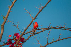 Principe do Pantanal bird perched on a branch full of thorns and some pink flowers. Blue sky background Stock Images