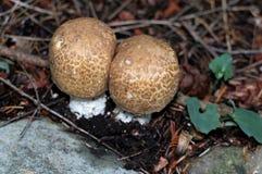 Principe Mushrooms - augustus dell'agaricus fotografie stock