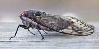 Principe nero della cicala Fotografia Stock