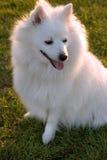 Principessa del cane Fotografie Stock