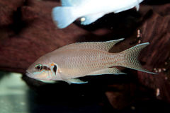 Principessa del pesce dell'acquario del Burundi (brichardi di Neolamprologus) Fotografia Stock