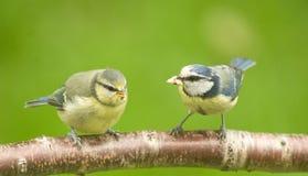 Principiante do melharuco azul e pássaro da matriz. Fotos de Stock