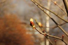 Principio del árbol de castaña Imagen de archivo