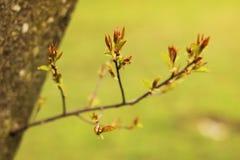 Principio del árbol de castaña Imágenes de archivo libres de regalías