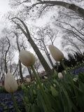 在盛开,郁金香节日的Pring郁金香在土耳其 库存照片