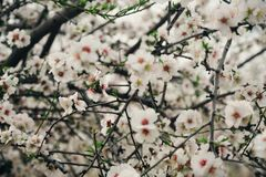 Pring blossoms Royalty Free Stock Image