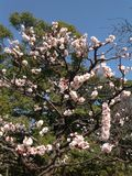 Pring flowers in Tokyo Royalty Free Stock Image
