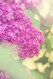 Pring lilac flowers Stock Photos
