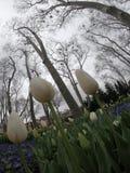 Pring tulips in full bloom, Tulip Festival in Turkey stock photos