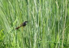 Prinia cendré à l'intérieur de longues herbes Image libre de droits