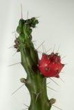 Prinkly Pear Cactus. Closeup of a flowering prinkly pear cactus Stock Image