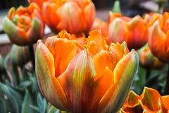 Prinses Irene pastelu Barwioni tulipany Obrazy Royalty Free