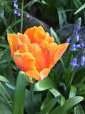 Prinses Irene tulip flower. Orange Prinses Irene tulip flower in bloom Royalty Free Stock Photography